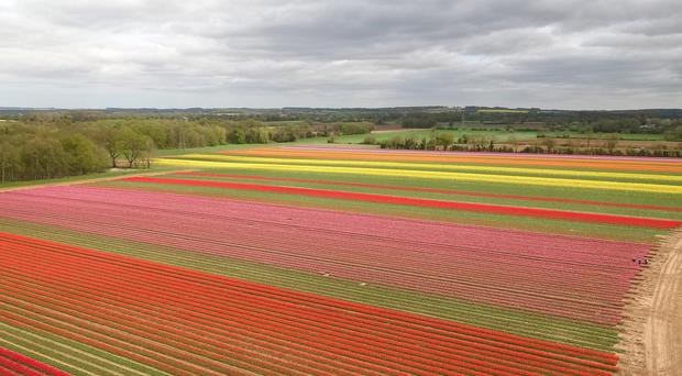 A field of tulips in bloom near the village of East Winch in Norfolk (Joe Giddens/PA)