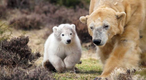 The young polar bear cub has been named Hamish after a public vote (Jon Paul Orsi/RZSS/PA)