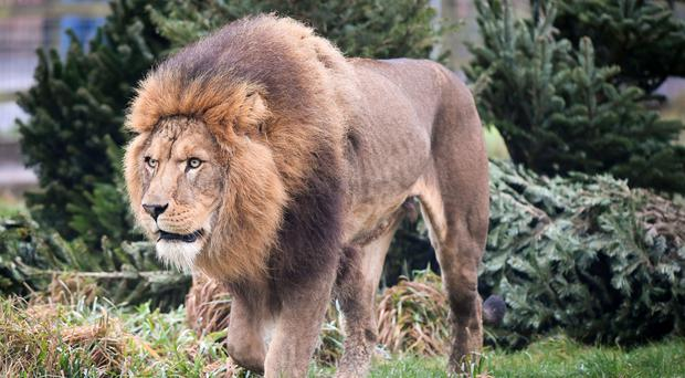 Shocking video footage shows a man being attacked by a male lion - lion pictured is not the lion involved (Ben Birchall/PA)