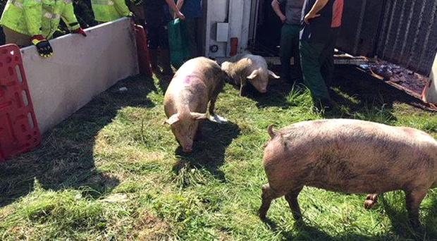 A lorry carrying 200 pigs overturned in Darlington (CDD Fire and Rescue/Twitter)