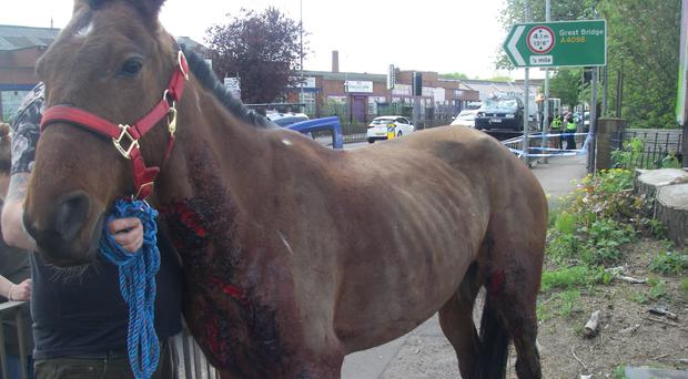 The horse was left after it slipped its traces, and bolted, colliding with a car (RSPCA/PA)
