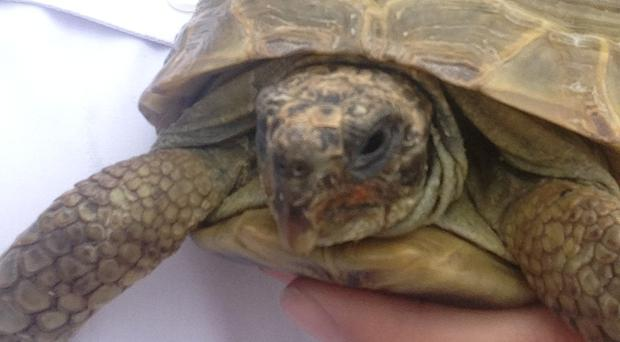 Picture of a tortoise which was abandoned in Staffordshire