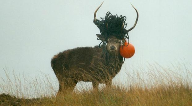 This stag also was seen to be carrying a buoy which had washed up on the shore (SNH/PA)