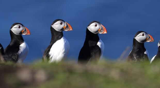 Puffin numbers on the Farne Islands could be down compared to five years ago, National Trust warns (Owen Humphreys/PA)