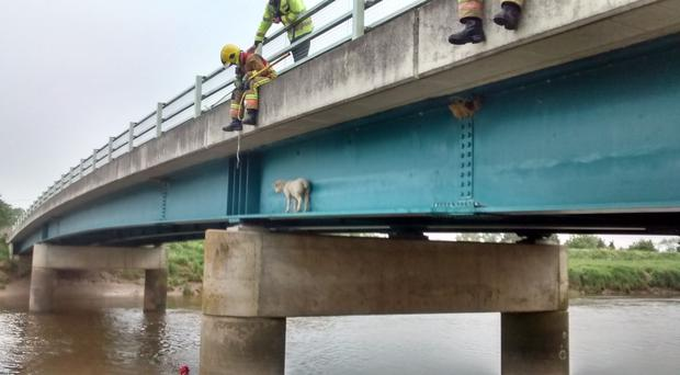 A second sheep in a week got stuck on a ledge on a bridge at Stowbridge, Norfolk and had to be rescued (RSPCA/PA)