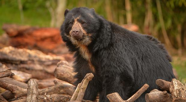 Spectacled bears are among the species getting UK funding (Chester Zoo/PA)