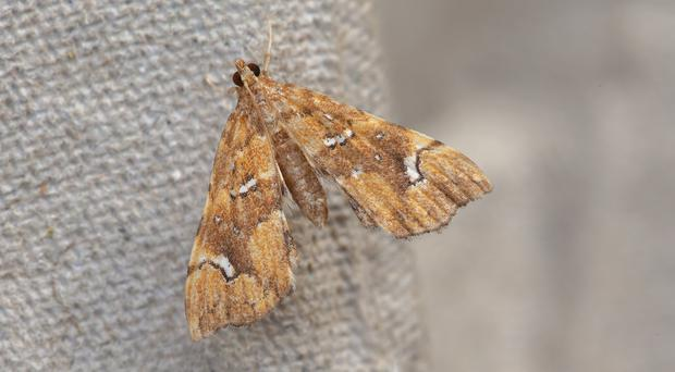 Moths such as Musotima nitidalis have arrived as a result of the horticultural trade, experts said (Les Hill/Butterfly Conservation/PA)