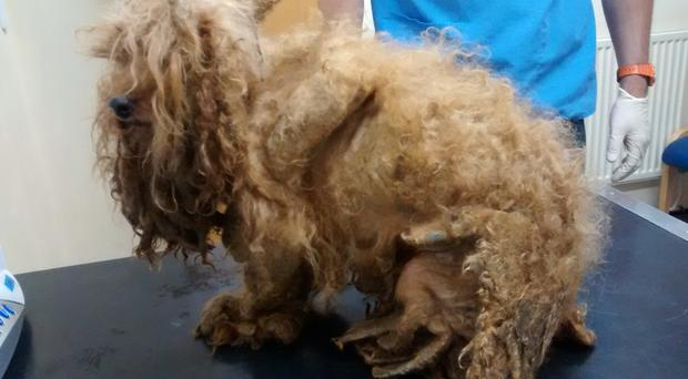 Abandoned poodle cross dog Benji was found with badly matted fur (RSPCA/PA)