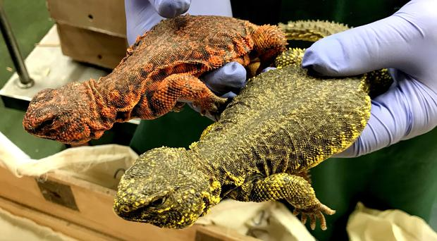 Uromastyx have been seized during a haul that is part of Operation Thunderstorm (Home Office/PA)