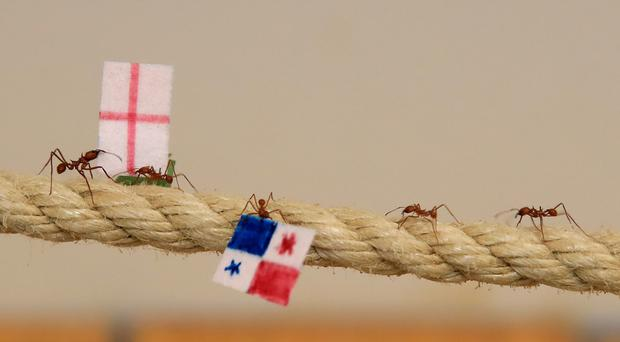 Leaf cutter ants at Cannon Hall Farm in Yorkshire race along (Peter Byrne/PA)