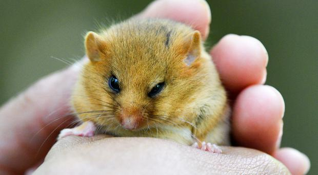 Dormouse numbers are falling in Britain (Ben Birchall/PA)