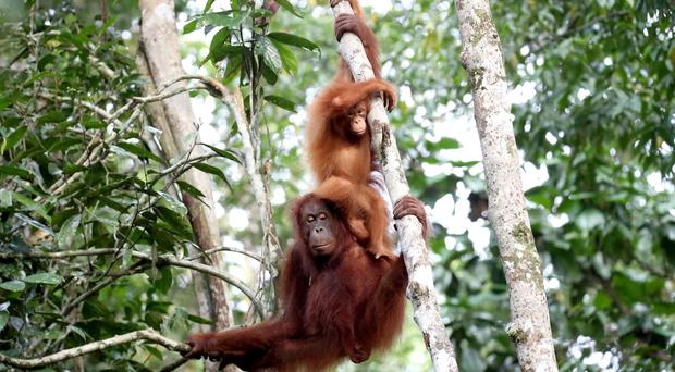 A team of scientists looked at the development of orangutans (Chris Jackson/PA)