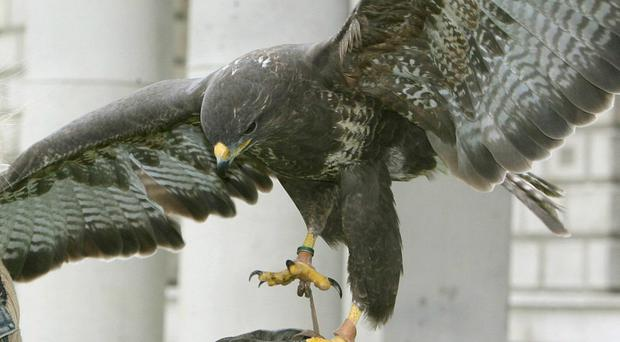 A bird of prey is on the loose in Co Armagh. (PA)