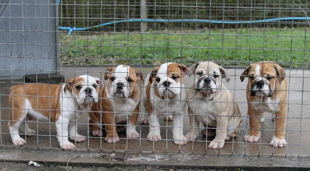 The dog was believed to be an English bulldog. [Stock image]
