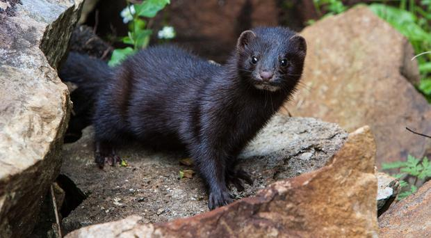The American mink is thought to have been introduced by fur farmers in the 1950s (SNH/PA)