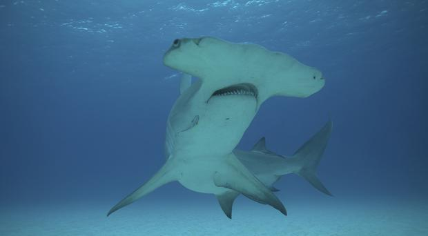 Great hammerhead sharks could be among the species that could be found in UK waters in the future (National Geographic/Paulo Velozo/PA)
