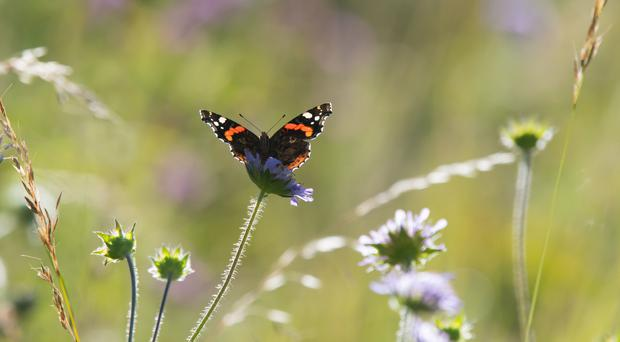The weather so far this year could mean a bumper year for butterflies such as the red admiral (Tim Melling, Butterfly Conservation/PA)