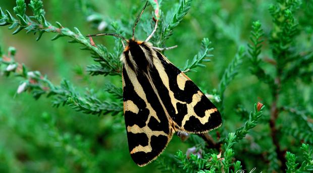 The wood tiger moth is 65% more likely to survive climate change in microclimate pockets known as 'refugia', say researchers (Robert Thompson/PA)