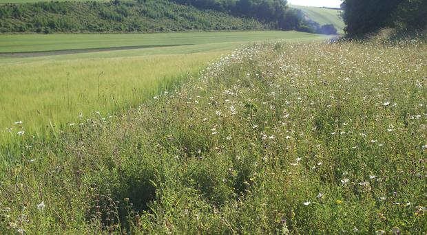 Leaving edges of fields uncut and unsprayed can help flowers and wildlife (Plantlife/PA)