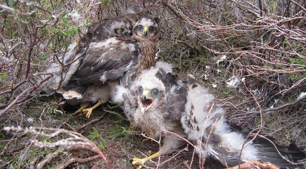 Hen harriers have successfully bred on several grouse moors, including United Utilities' estate in the Forest of Bowland (James Bray/PA)