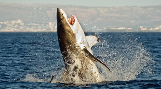The shark breached the water beneath the crew member (USO/Getty images)