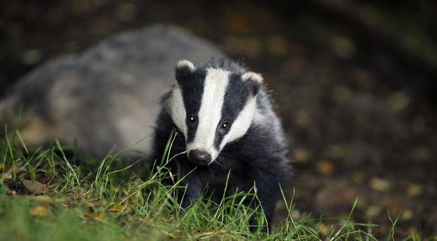 A campaigner lost a High Court challenge against the extended badger cull (Ben Birchall/PA)