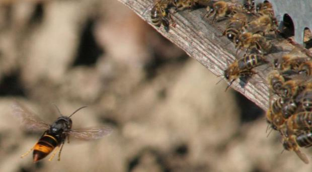 The Asian hornet poses no greater risk to human health than a bee but does pose a risk to honey bees (Defra/PA)