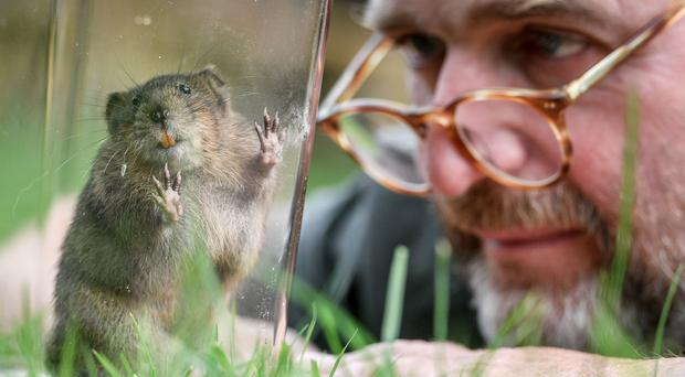National Trust conservation manager Alex Raeder with one of 150 specially bred water voles (Ben Birchall/PA)