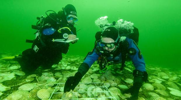 Scientists laying native European oysters on the recreated reef in the Dornoch Firth (Glenmorangie/PA)