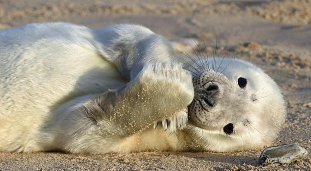 A grey seal pup on the beach (Joe Giddens/PA)