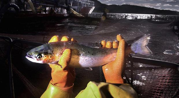 A worker at a salmon farm (David Cheskin/PA)