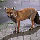 An urban fox in north London (PA)