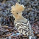 A hoopoe has been spotted at a wildlife reserve in Montrose (Ron Mitchell/Scottish Wildlife Trust/PA)
