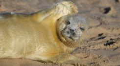 A newborn grey seal pup on the beach at Horsey in Norfolk (Joe Giddens/PA)