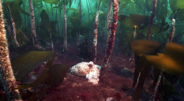 The Scottish Parliament has voted to curb kelp dredging (Andy Jackson/Subsea TV/PA)