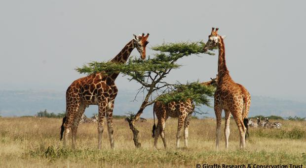 Giraffes like to eat with known companions rather than on their own, the researchers concluded (Rothschild's Giraffe Project /Zoe Muller/PA)