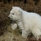 Polar bear cub Hamish exploring his outdoor enclosure at RZSS Highland Wildlife Park, Kingussie (Andrew Milligan/PA)