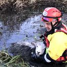 The sheep were pulled from a river near the M1 (RSPCA/PA)