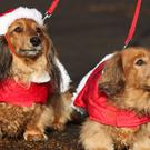 Dachshunds Sabrina, left, and Lola, right, take part in the festive walk (Jonathan Brady/PA)