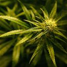 Police seized £12k worth of cannabis plants.