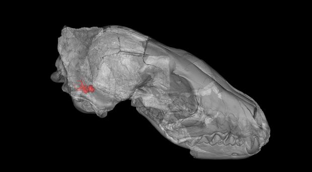 Computerised scan of the skull of the first dog species with inner ear highlighted in red (Julia Schwab/PA)