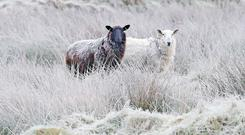 Sheep in frost-covered fields near Blessington in Co Wicklow (Niall Carson/PA)