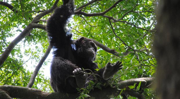 Chimps use branch to make ladder, escape Belfast Zoo