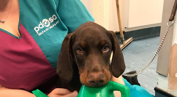 Cassius the Doberman puppy got into a tight spot with a watering can (PDSA/PA)