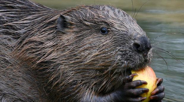 Beavers will be given the protected status from May 1 (Gareth Fuller/PA)