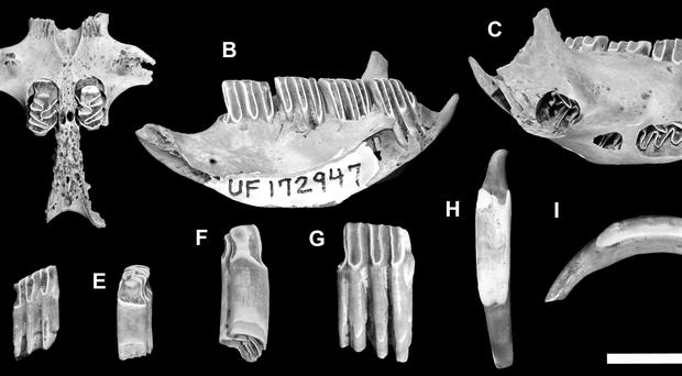 The fossilised bones have uncovered three new species and subspecies of mammal (NMMNH/PA)