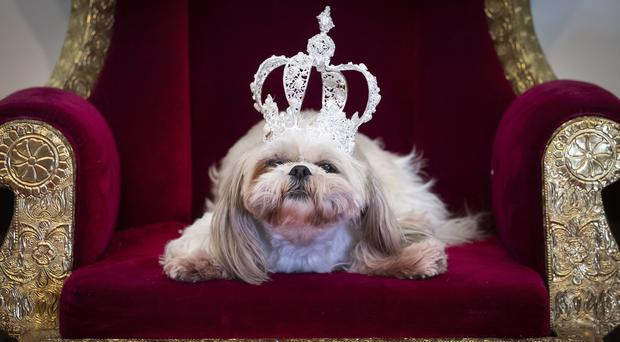 Gizmo the Shih Tzue wears a crown during the Furbabies dog pageant in Wetherby (Danny Lawson/PA)