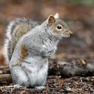Grey squirrels are the most commonly spotted animals in the Living With Mammals survey (Peter Byrne/PA)