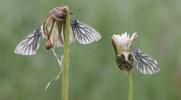 Butterflies and moths are arriving earlier as spring starts sooner (Rob Blanken/Butterfly Conservation/PA)