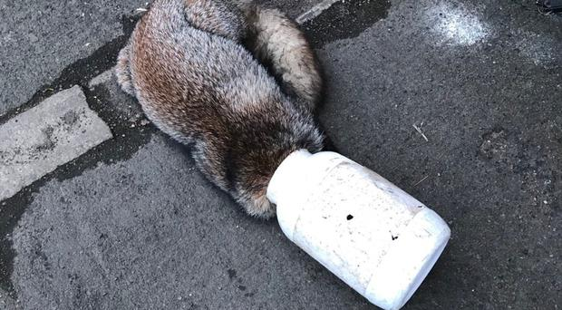 The fox was found with its head stuck in a container (RSCPA/PA)